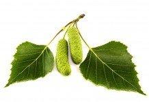 Birkenblätter Heilkraft Wirkung Blätter