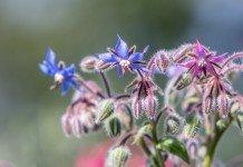 Borretsch Heilpflanze Anwendung