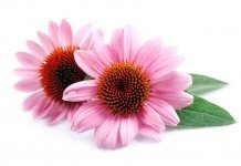 Echinacea Sonnenhut Heilpflanze Heilkraft Anwendung