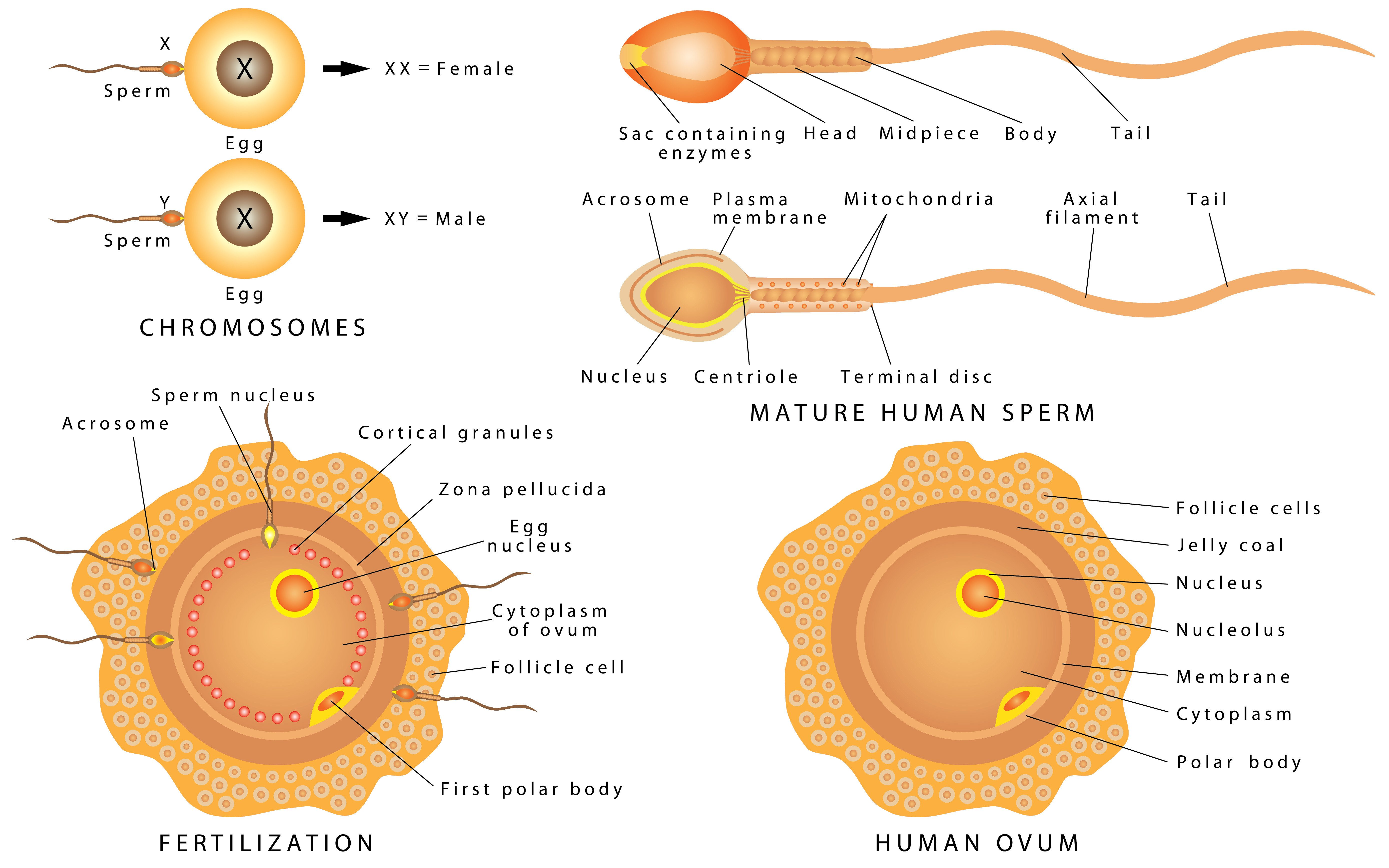 Ei Mit Sperma Befruchten