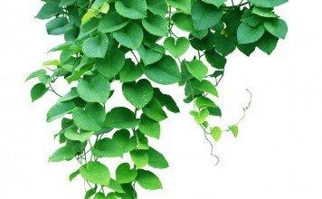Efeu Heilpflanze Anwendung Heilkraft