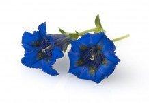 Enzian Heilpflanze Heilkraft Anwendung Blüte
