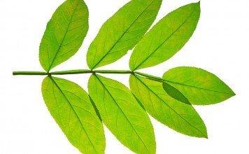 Esche Heilpflanze Heilkraft Anwendung