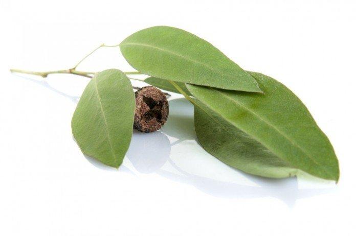 Eukalyptus Heilpflanze Anwendung Heilkraft