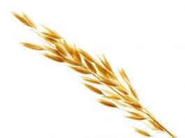 Hafer Heilkraft Nahrungsmittel Gesundheit Heilwirkung