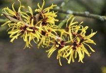Hamamelis Heilpflanze Heilkraft Anwendung Nebenwirkungen Heilwirkung Pflanze