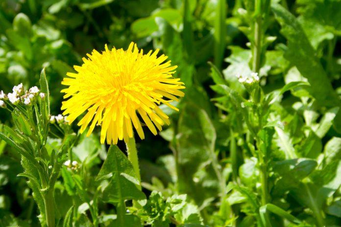 Löwenzahn Heilkraft Heilpflanze Anwendung Nebenwirkungen Heilwirkung Pflanze
