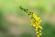 Odermennig Heilkraft Heilpflanze Anwendung Nebenwirkungen Heilwirkung Pflanze