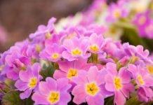 Primel Heilkraft Heilpflanze Anwendung Nebenwirkungen Heilwirkung Pflanze