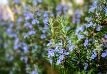 Rosmarin Heilkraft Heilpflanze Anwendung Nebenwirkungen Heilwirkung Pflanze