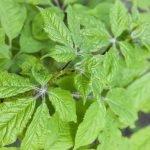 Taigawurzel Heilkraft Heilpflanze Anwendung Nebenwirkungen Heilwirkung Pflanze
