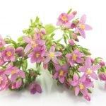 Tausendgüldenkraut Heilkraft Heilpflanze Anwendung Nebenwirkungen Heilwirkung Pflanze