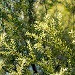 Teebaum Heilkraft Heilpflanze Anwendung Nebenwirkungen Heilwirkung Pflanz