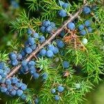 Wacholder Heilkraft Heilpflanze Anwendung Nebenwirkungen Heilwirkung Pflanze
