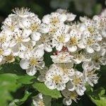 Weißdorn Heilkraft Heilpflanze Anwendung Nebenwirkungen Heilwirkung Pflanze
