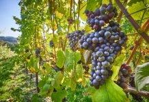 Weinrebe Heilkraft Heilpflanze Anwendung Nebenwirkungen Heilwirkung Pflanze