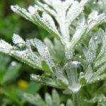 Wermut Heilkraft Heilpflanze Anwendung Nebenwirkungen Heilwirkung Pflanze