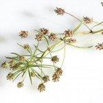 Indische Flohsamenschalen Pflanze Heilkraft Anwendung