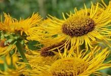 Alant - Wirkung & Anwendung - Wirkstoffe der Pflanze