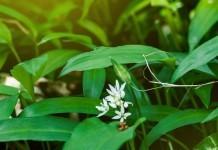 Bärlauch - Wirkung & Anwendung - Wirkstoffe der Pflanze