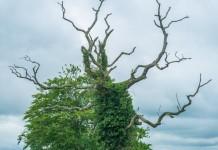 Efeu Heilpflanze Anwendung Natur Wirkung