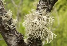 Isländisch Moos - Wirkung & Anwendung - Wirkstoffe der Pflanze