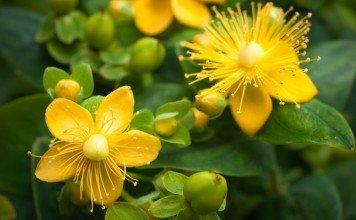 Johanneskraut Anwendung Depressionen Heilkraft Heilpflanze Naturmedizin