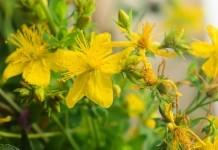 Johanniskraut - Wirkung & Anwendung - Wirkstoffe der Pflanze