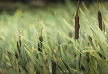 Kalmus - Wirkung & Anwendung - Wirkstoffe der Pflanze
