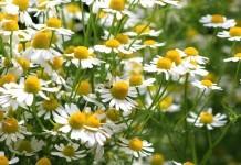 Kamille Heilpflanze Anwendung Wirkung