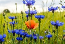 Kornblume - Wirkung & Anwendung - Wirkstoffe der Pflanze