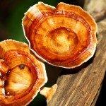 Reishi Pilz Vitalstoffe Triterpene Wirkung