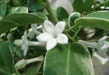 Kondurango - Wirkung & Anwendung - Wirkstoffe der Pflanze