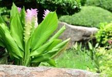 Kurkuma (Gelbwurzel) - Wirkung & Anwendung - Wirkstoffe der Pflanze