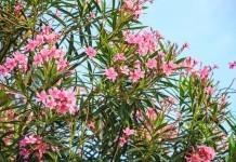 Oleander (Rosenlorbeer) - Wirkung & Anwendung - Wirkstoffe der Pflanze
