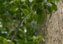 Perubalsam - Wirkung & Anwendung - Wirkstoffe der Pflanze