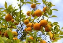 Pomeranzen - Wirkung & Anwendung - Wirkstoffe der Pflanze