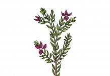 Ratanhia - Wirkung & Anwendung - Wirkstoffe der Pflanze