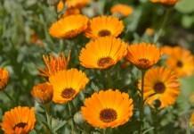 Ringelblume (Calendula) - Wirkung & Anwendung - Wirkstoffe der Pflanze