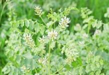Süßholz - Wirkung & Anwendung - Wirkstoffe der Pflanze