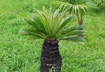 Sabal (Sägepalme) Heilpflanze Anwendung bei Prostata und Harnweginfektion
