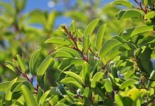 Sandelholz - Wirkung & Anwendung - Wirkstoffe der Pflanze