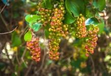 Sarsaparilla - Wirkung & Anwendung - Wirkstoffe der Pflanze