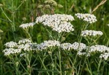 Schafgarbe in der Blüte in der Schweiz werden nur die Blüten verwendet