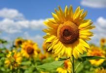 Sonnenblume - Wirkung & Anwendung - Wirkstoffe der Pflanze
