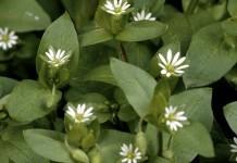 Vogelmiere - Wirkung & Anwendung - Wirkstoffe der Pflanze